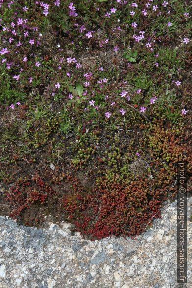 Mousses et fleurs sur un rocher granitique. Photo © Alex Medwedeff
