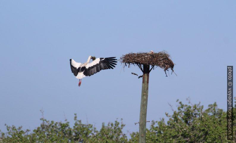 Cigogne amenant du matériel de construction pour le nid. Photo © André M. Winter