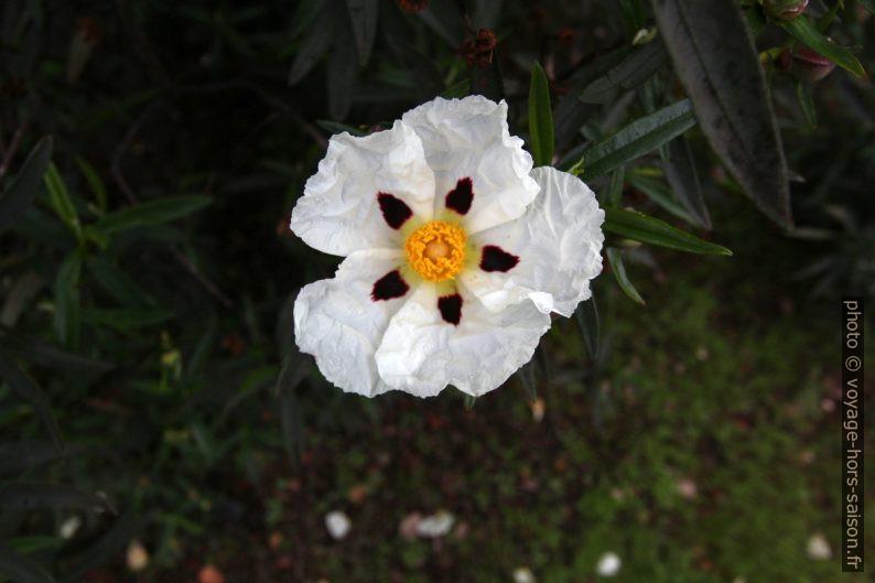 Fleur de ciste porte-laudanum. Photo © André M. Winter