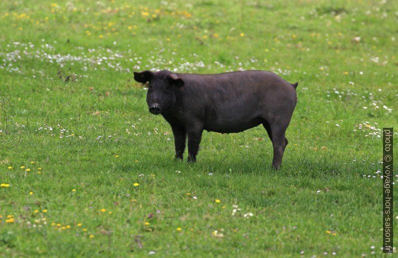 Truie ibérique noire. Photo © André M. Winter