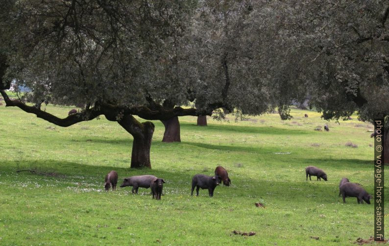 Troupeau de cochons ibériques noires. Photo © André M. Winter
