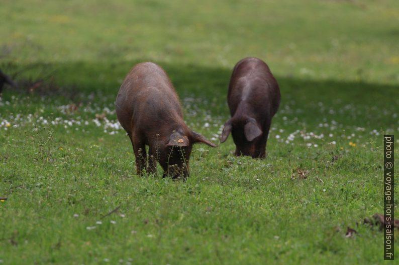 Porcs ibériques noirs à la recherche de glands dans un pré. Photo © André M. Winter
