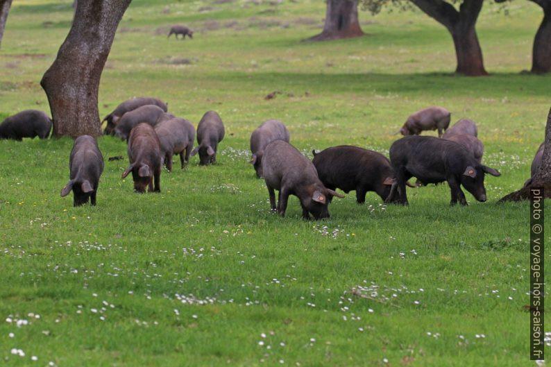 Troupeau de cochons ibériques noirs. Photo © André M. Winter