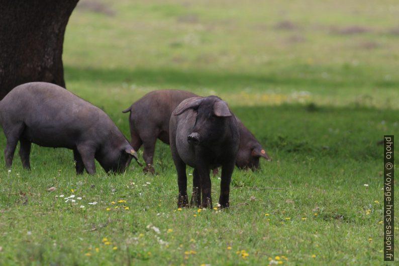 Cochons ibériques sur un pré vert. Photo © André M. Winter