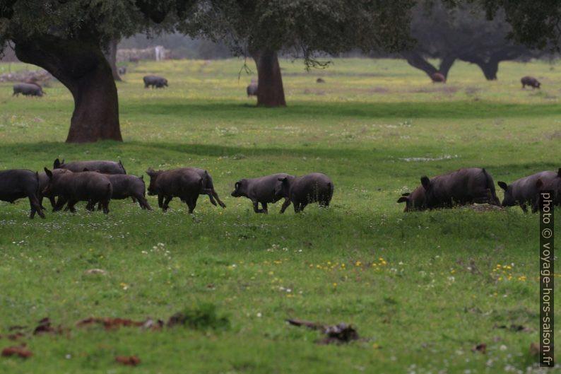 Porcs ibériques courant en dehesa. Photo © André M. Winter