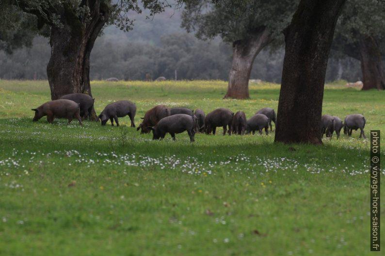 Porcs ibériques paissant. Photo © André M. Winter