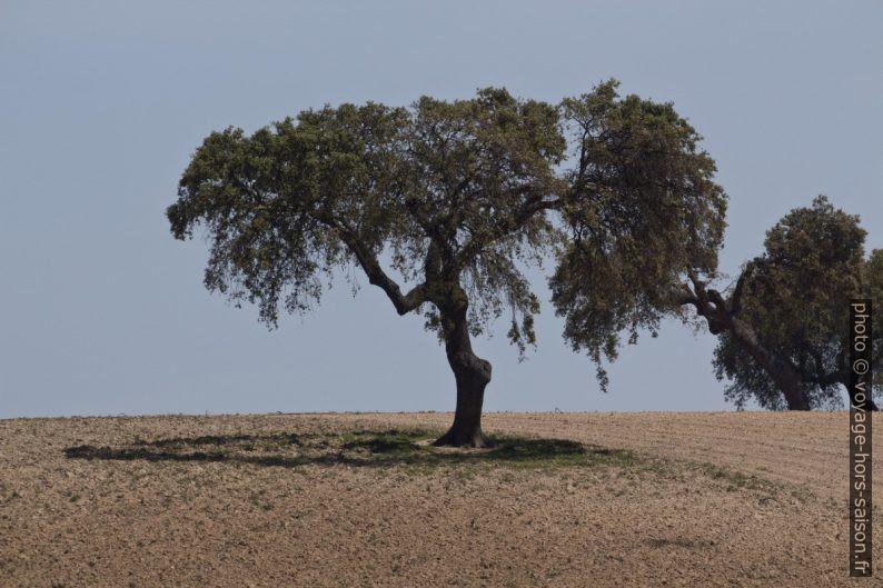 Chêne élagué au centre avec peu d'ombre au sol. Photo © André M. Winter