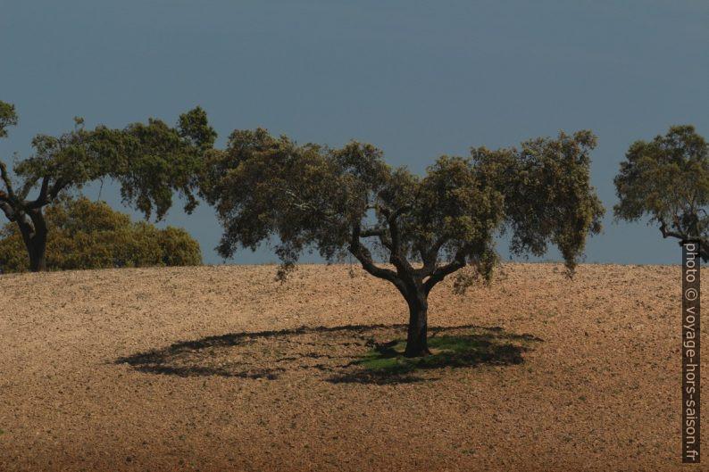 Ombre circulaire d'un chêne élagué au centre. Photo © André M. Winter
