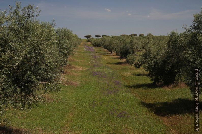 Rangée dans une oliveraie au printemps. Photo © Alex Medwedeff