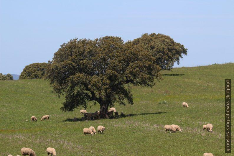 Moutons et un grand chêne dans une dehesa. Photo © André M. Winter