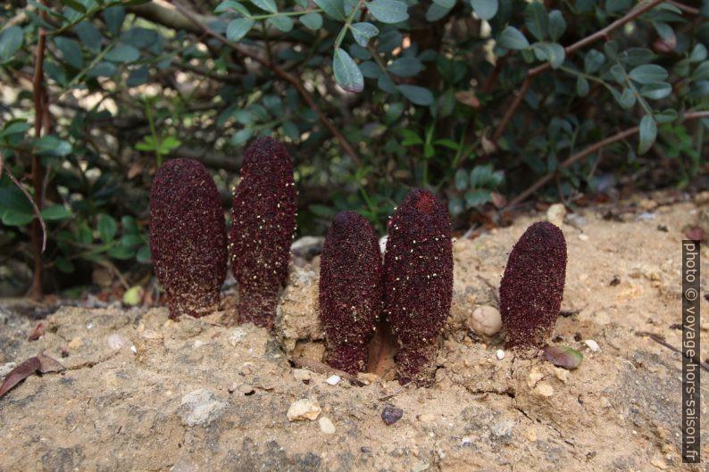 Plante probablement parasite du type Bdallophytum. Photo © André M. Winter