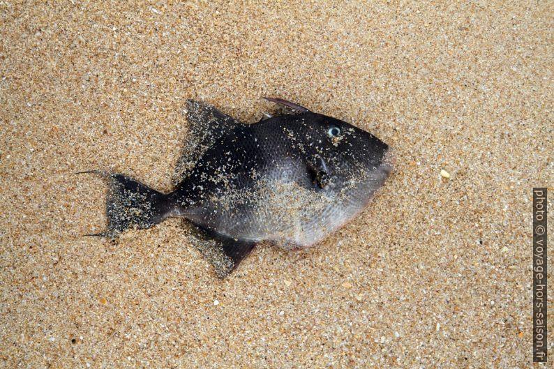 Poisson mort sur la plage. Photo © Alex Medwedeff