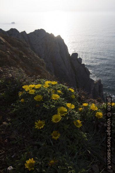 Fleurs sur les falaises à l'extrême sud-ouest du Portugal. Photo © André M. Winter