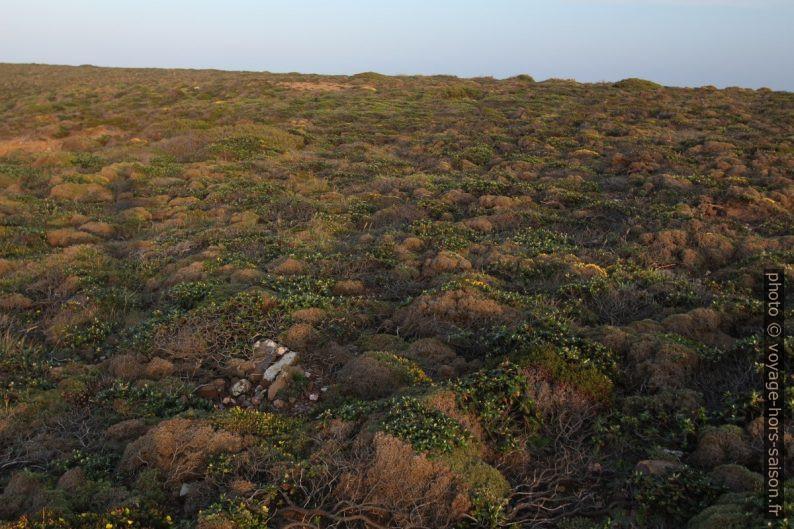 Tapis de végétation très basse au Cabo São Vicente. Photo © André M. Winter