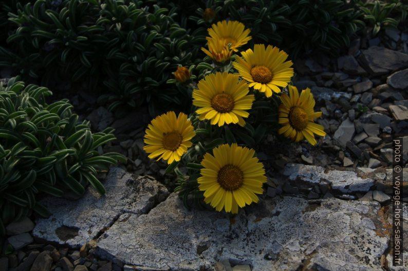 Fleurs jaunes de l'astérolide maritime. Photo © André M. Winter