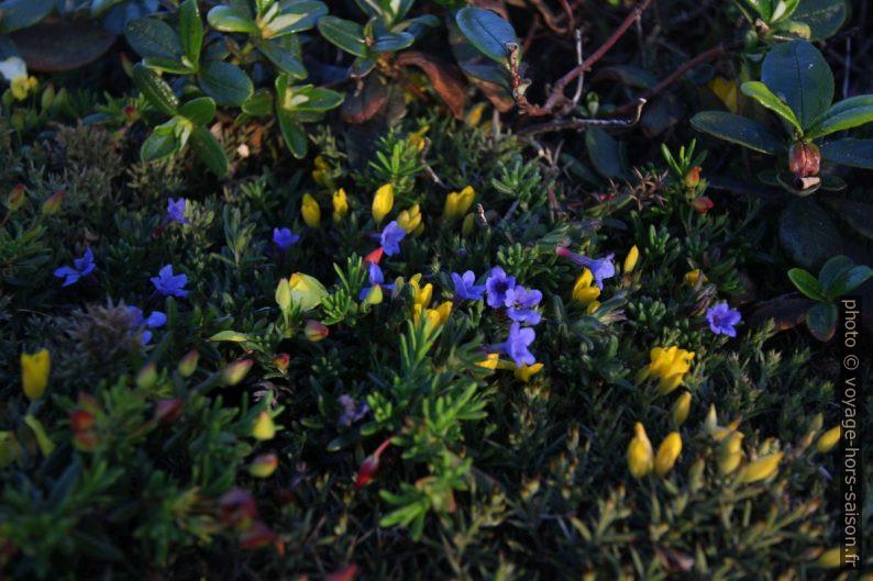 Végétation basse en fleurs au Cabo São Vicente. Photo © André M. Winter