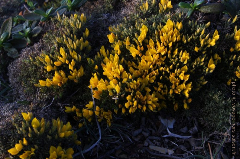 Végétation basse à fleurs jaunes au Cabo São Vicente. Photo © André M. Winter