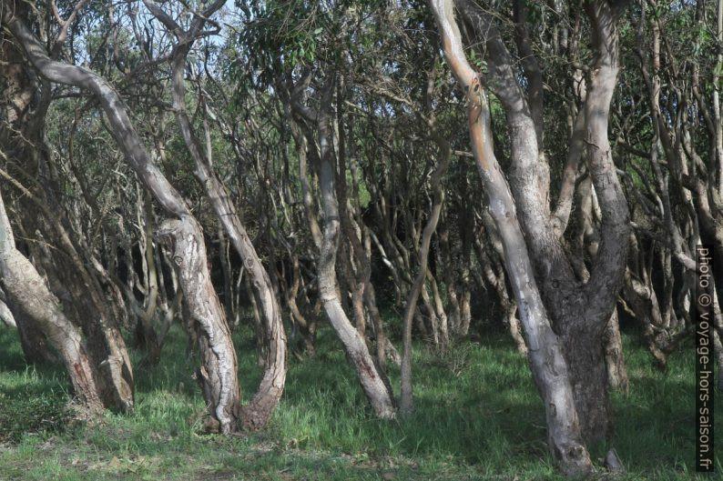 Troncs tordus d'une forêt d'eucalyptus sur terrain difficile. Photo © Alex Medwedeff