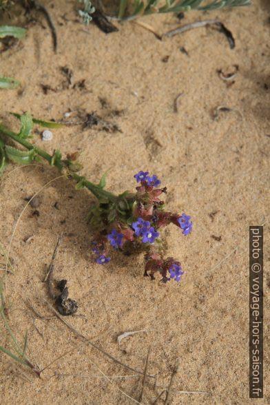 Petites fleurs bleues sur la dune d'Almograve. Photo © Alex Medwedeff
