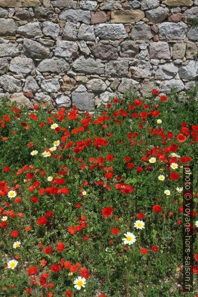 Fleurs de pavot sous le mur du château de Santiago do Cacém. Photo © Alex Medwedeff