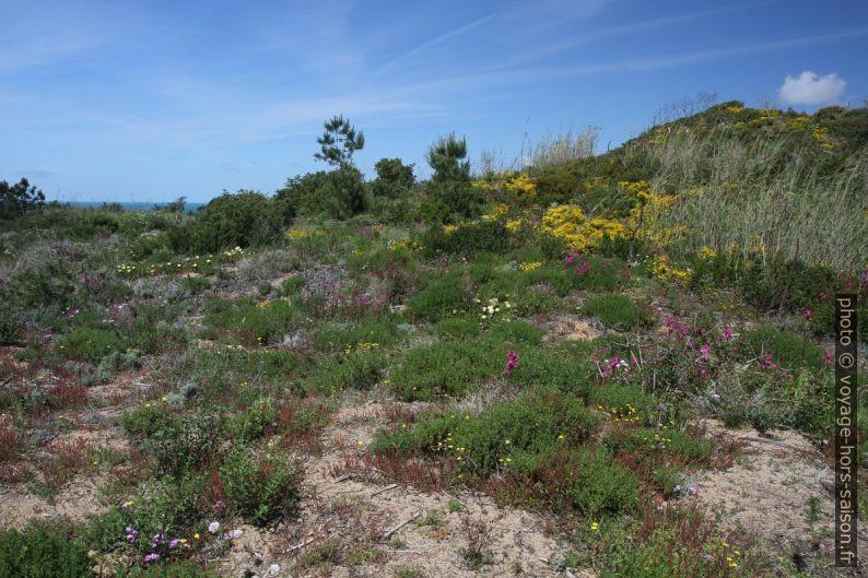 Végétation en fleurs sur la dune de Salir do Porto. Photo © Alex Medwedeff
