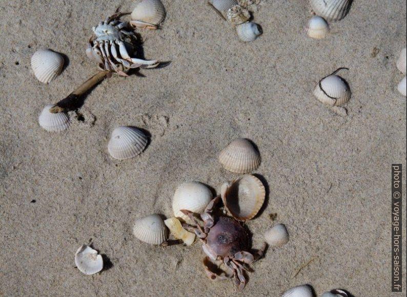 Coquillages et crabes morts sur la Praia da Gafanha da Boa Hora. Photo © Alex Medwedeff