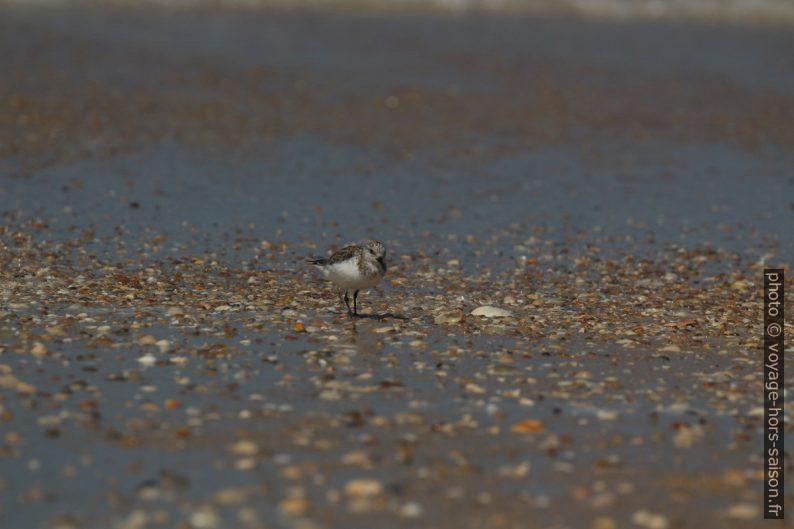 Un bécasseau sanderling sur la plage. Photo © André M. Winter
