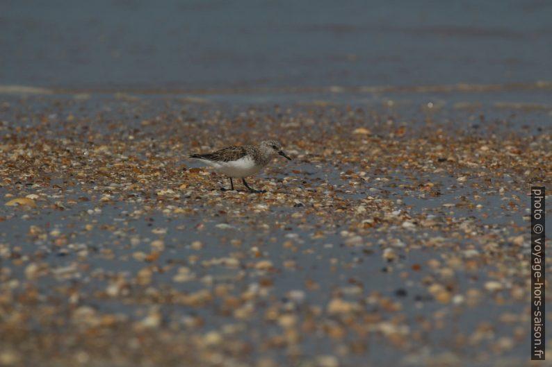 Un bécasseau sanderling vu au téléobjectif. Photo © André M. Winter