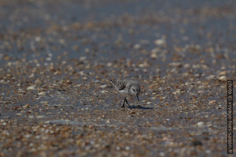 Un bécasseau sanderling recherche des mollusques de la plage. Photo © André M. Winter