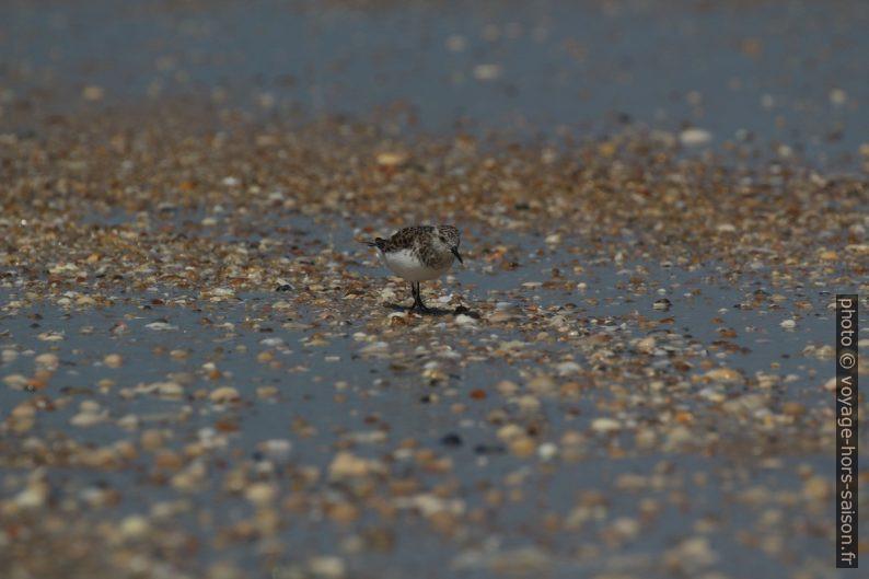 Un bécasseau sanderling en train de chercher des proies. Photo © André M. Winter