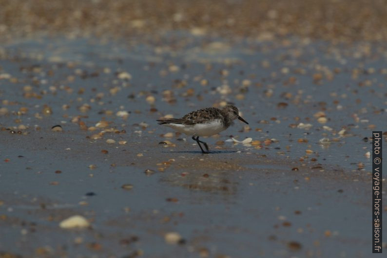 Un bécasseau sanderling vu de côté. Photo © André M. Winter