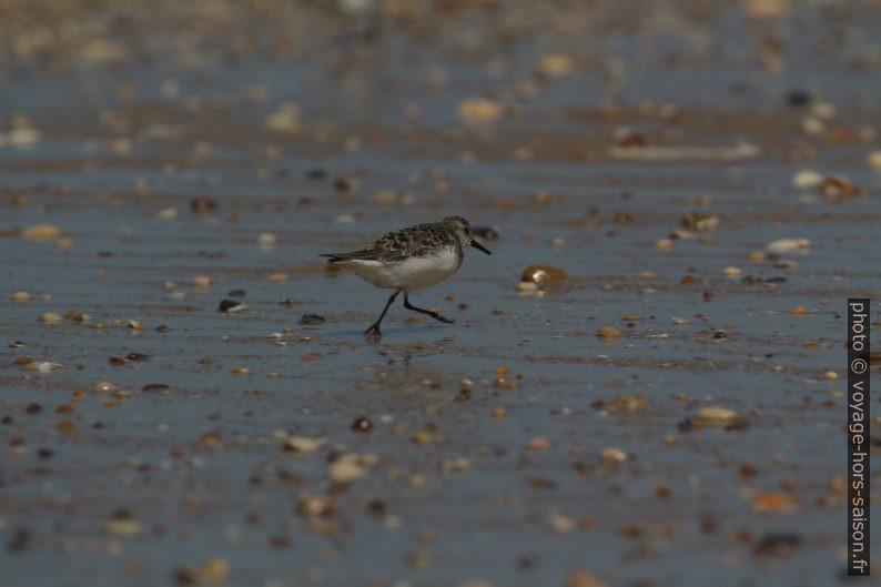 Un bécasseau sanderling court sur le sable fin. Photo © André M. Winter