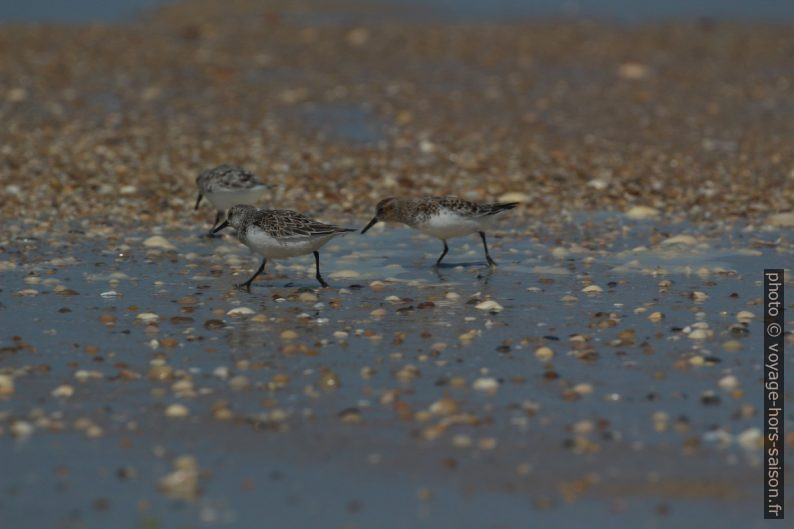 Des bécasseaux sanderling sur une plage au Portugal au mois de mai. Photo © André M. Winter