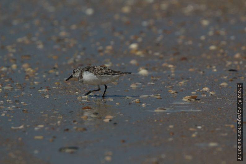 Bécasseau sanderling. Photo © André M. Winter