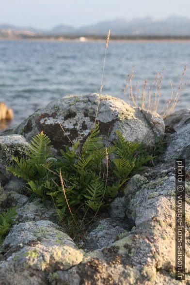 Fougères sur un rocher en bord de mer. Photo © Alex Medwedeff