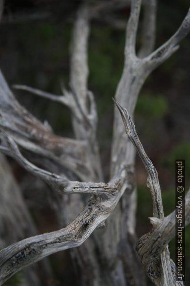 Branches de genévrier mort. Photo © Alex Medwedeff