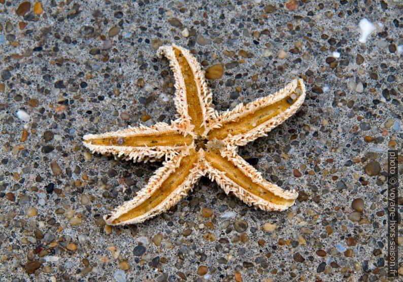 Étoile de mer desséchée. Photo © Alex Medwedeff