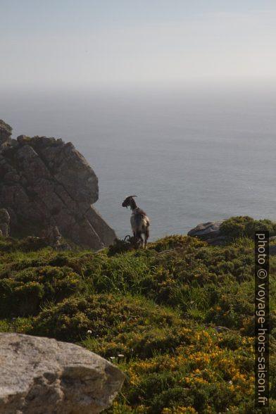 Une chèvre semi-sauvage au Cabo de la Nave. Photo © Alex Medwedeff
