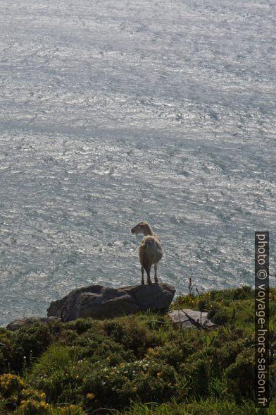 Une chèvre au Cabo de la Nave. Photo © Alex Medwedeff