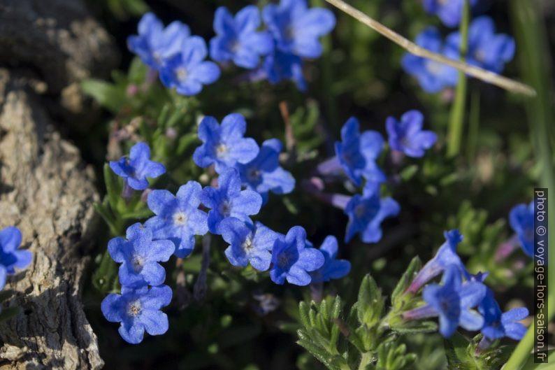 Détail des petites fleurs bleues en touffe. Photo © André M. Winter