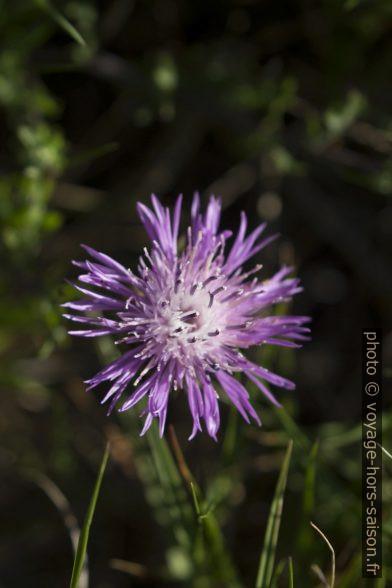 Détail d'une fleur violette effilochée de centaurée. Photo © André M. Winter