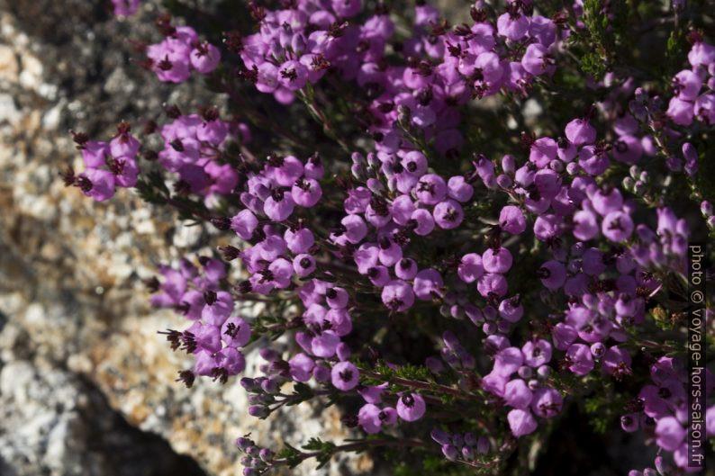 Détail des fleurs mauves d'un bruyère. Photo © André M. Winter