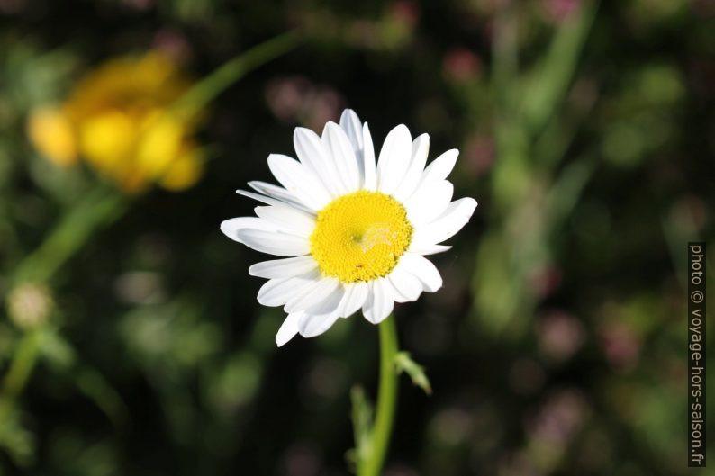 Fleur blanche de la marguerite commune. Photo © André M. Winter