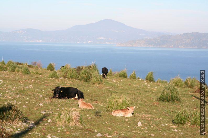 Vaches au Cap Palinuro. Photo © Alex Medwedeff