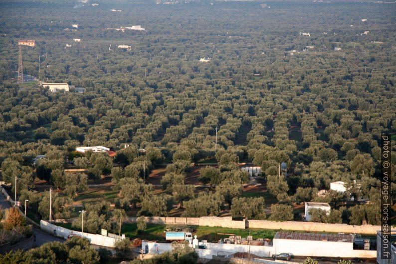 Culuture d'oliviers dans la pleine d'Ostuni. Photo © André M. Winter
