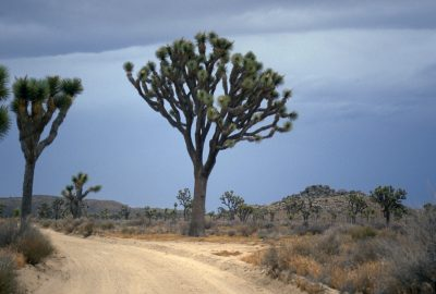 Grands arbres de Josué dans Joshua Tree National Park. Photo © André M. Winter