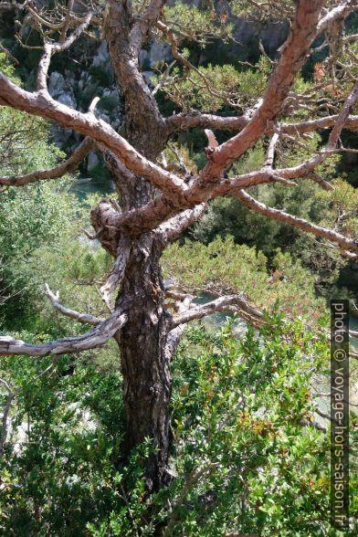 Le pin servant de référence pour descendre. Photo © André M. Winter