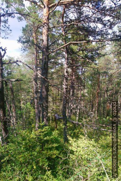 Forêt dans l'ubac de la crête au nord de l'Artuby. Photo © André M. Winter