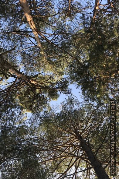 Vue verticale entre des pins. Photo © Alex Medwedeff