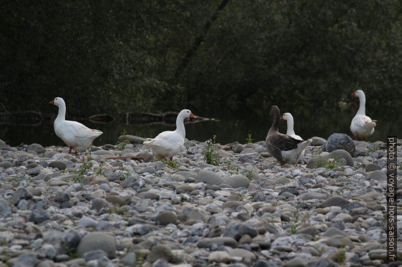 Oies semi-sauvages au Lago di Turrite Cava. Photo © André M. Winter